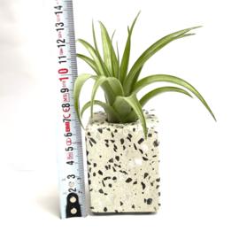 Terrazzo 6cm + tillandsia multiflora