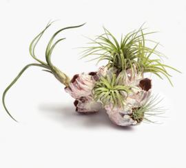 (DIY) Zeepok/barnacle + Airplants