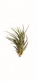 Tillandsia Pruinosa XL
