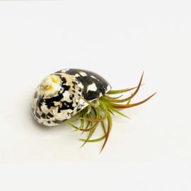Ionantha fuego in zwart/witte  slakkenhuisje
