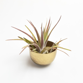 Gold cup + brach. var. Multiflora medium