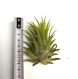 MIX: balbisiana small & large, ionantha rubra XL, butzii large, brach. Var. Multiflora medium & argentea medium