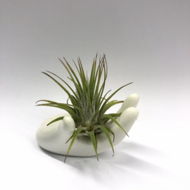 Handje + ionantha medium