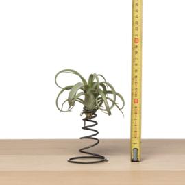 Springveer + airplant