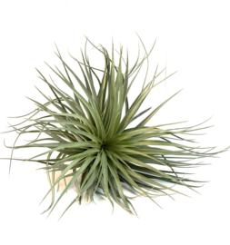 Tillandsia Stricta hybrid (XXL)