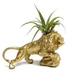 Gouden leeuw + capitata (medium)