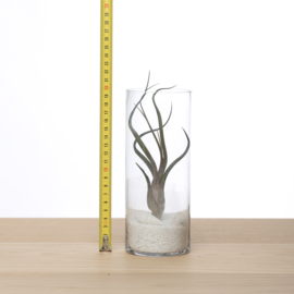 Tillandsia in glas