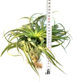 Tillandsia brachycaulos  (XXL)