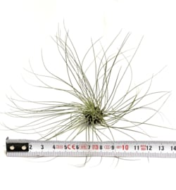 Tillandsia filifolia XL