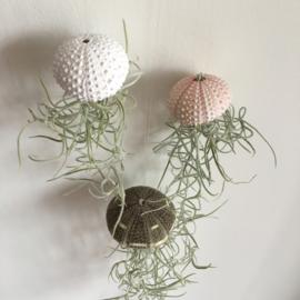 Jellyfish Trio (kleine zee-egels)