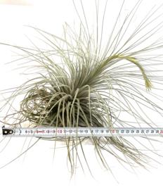 Tillandsia tectorum (XXL)