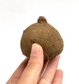 Stephania Erecta medium (6cm)
