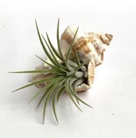 2x white mulli shells + ionantha