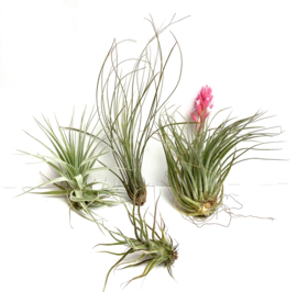 MIX: Gardneri, Juncea (medium), Cotton Candy, Pruinosa