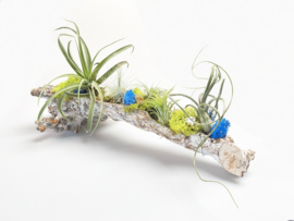 (DIY) boomstronk + Airplants