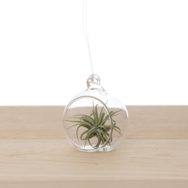 Tillandsia in Glasbol 6cm
