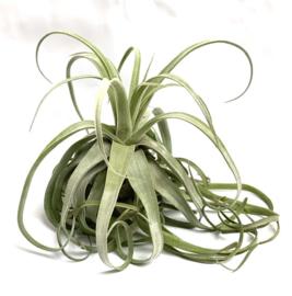 Tillandsia Streptophylla XXL