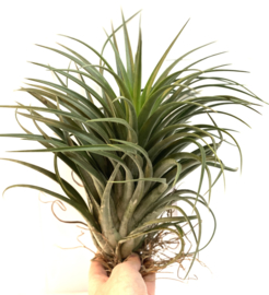 Tillandsia Capitata Yellow x ionantha yellow (XXL)