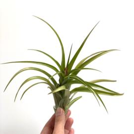 Multiflora x flabellata