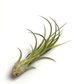 Circinatta x balbisiana hybrid