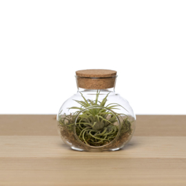 Airplants cadeaus | decoratie