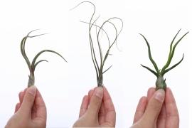 Tentakel Trio - luchtplantjes