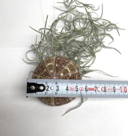 3x Jellyfish groen/bruin (kleine zee-egels)
