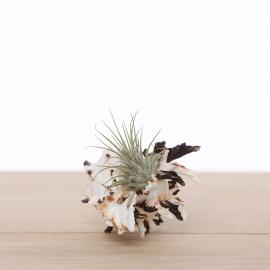Murex trio + luchtplantjes