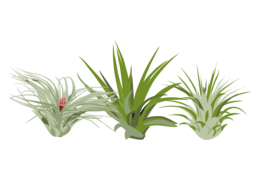 Tillandsien, Luftpflanzen, Airplants