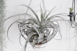 Tillandsia XXL Xerographica (in Metallanhänger)
