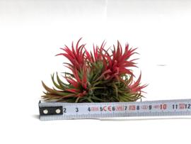 Tillandsia ionantha rood - cluster