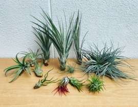 12x Airplant Mix (Grote Tuinverbouwing)