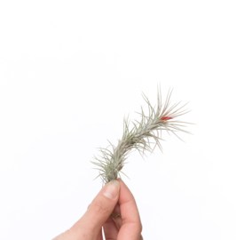 Tillandsia Funckiana (single)