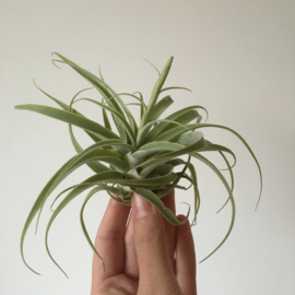 Tillandsia Cacticola (Large)