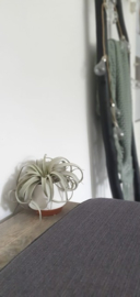 Groot, wit/terra potje + airplant