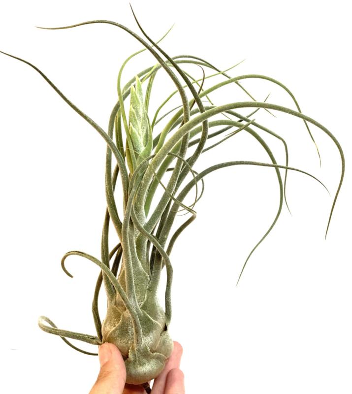 Tillandsia Pruinosa colombia XL