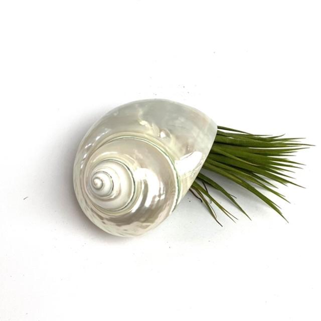 Tillandsia Ionantha XL +  schelp parelmoer