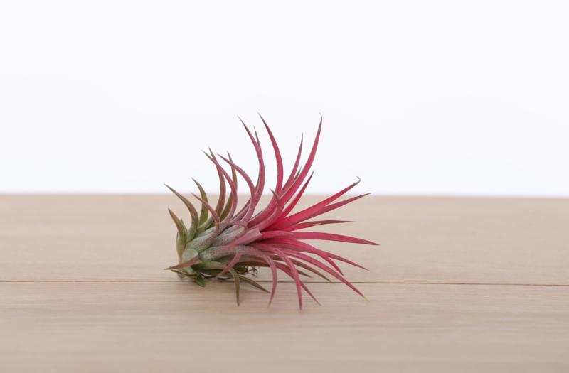 3x Tillandsia Ionantha (rood)