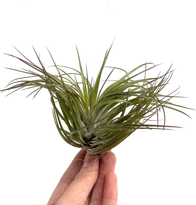 Tillandsia Stricta (met bloemknop/ Blütenknospe)