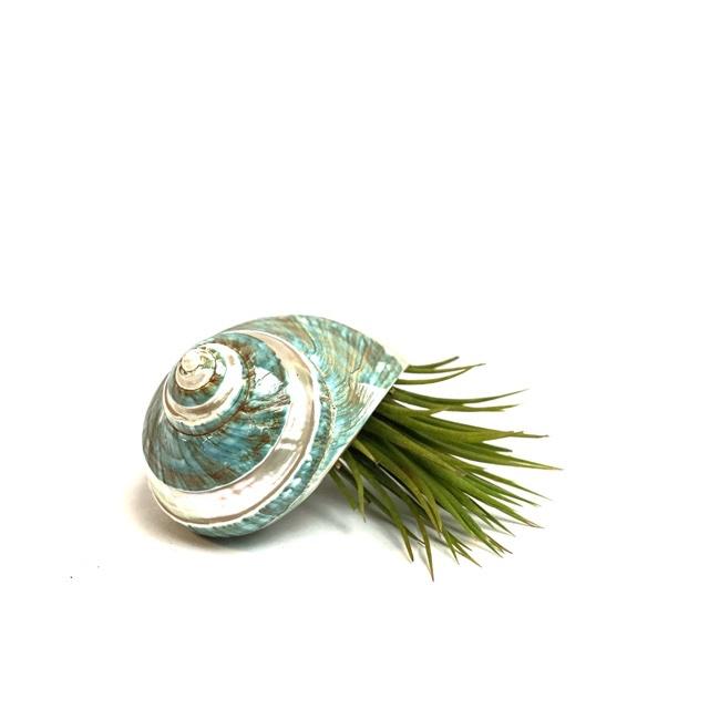 Tillandsia Ionantha XL + (mint) groene  schelp