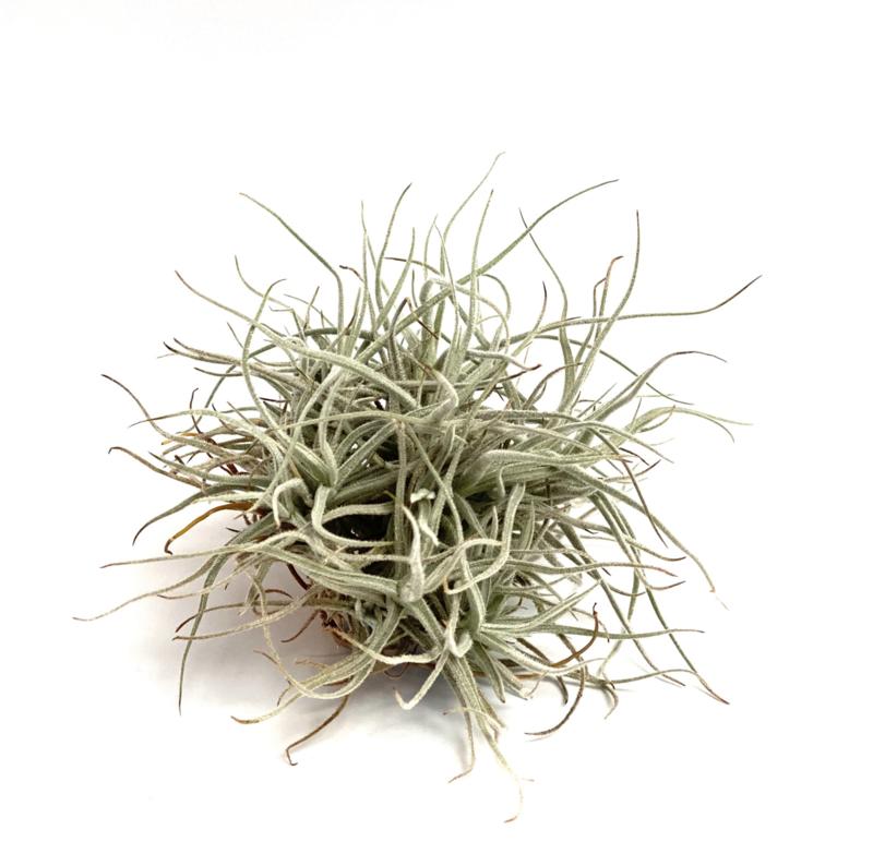 Tillandsia Chusgonensis
