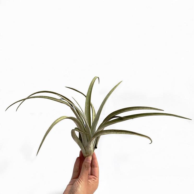 Tillandsia Chiapensis (XL)