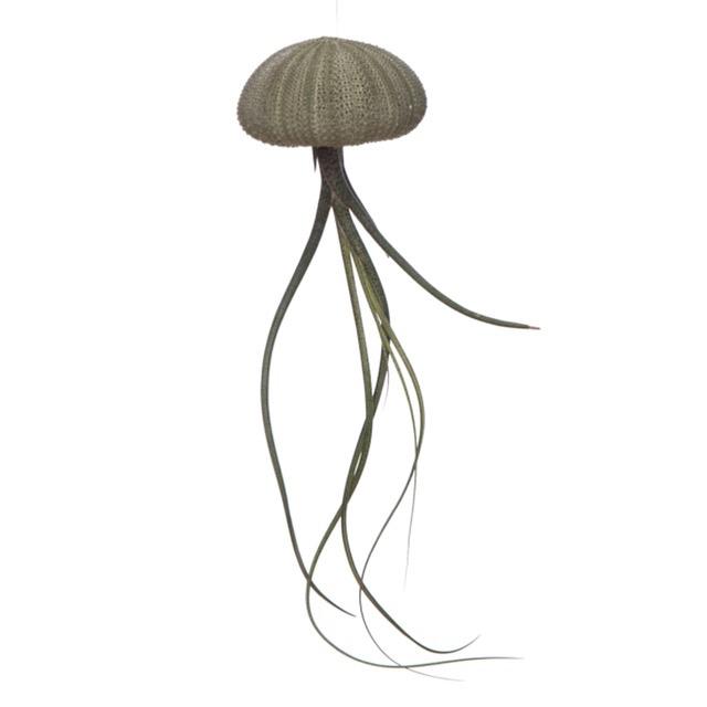 Kleine groene Jellyfish met tillandsia (zee-egel + luchtplantje)