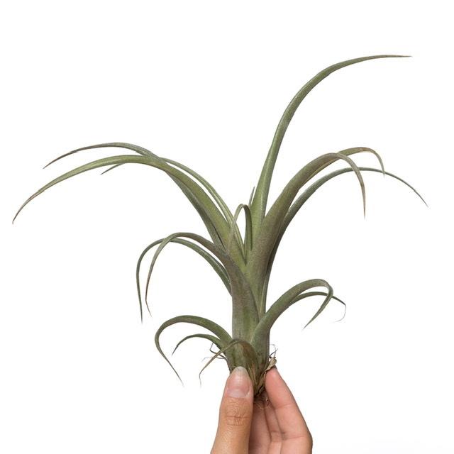 Tillandsia Curly slim (large)