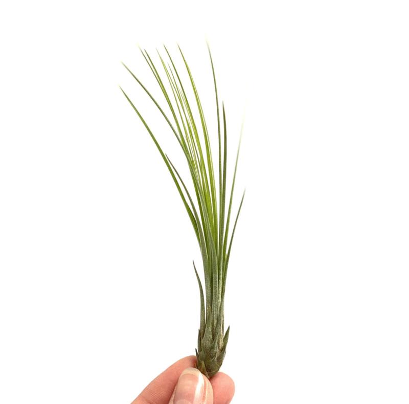 Tillandsia Juncifolia small