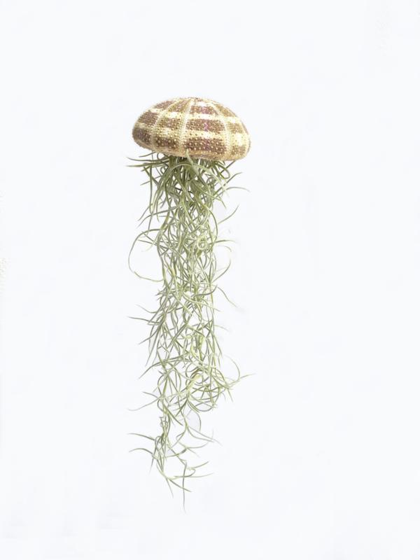 (Qualle) Jellyfish groß mit tillandsia