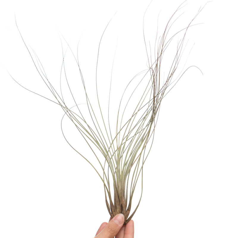 Tillandsia Juncea XL