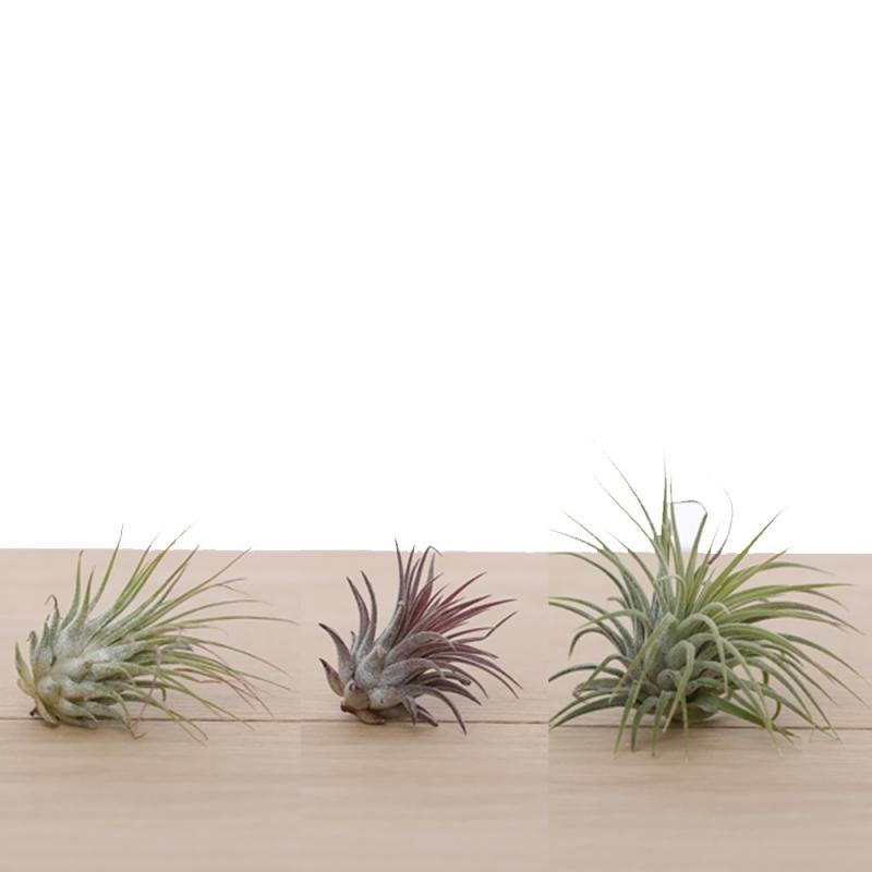 3x ionantha luchtplantjes