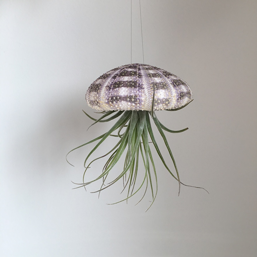 Tillandsia jellyfish