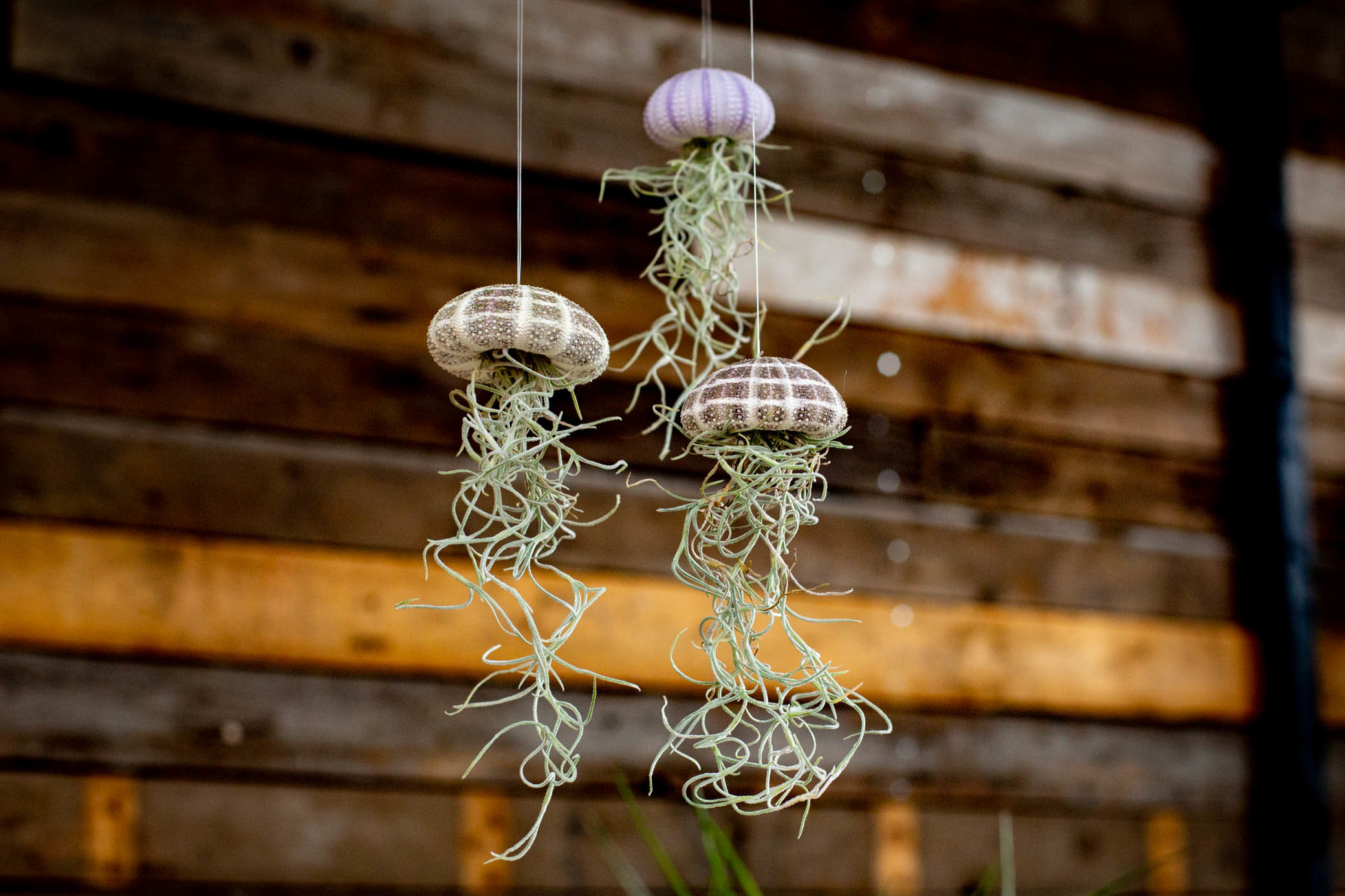 Luchtplantjes Jellyfish